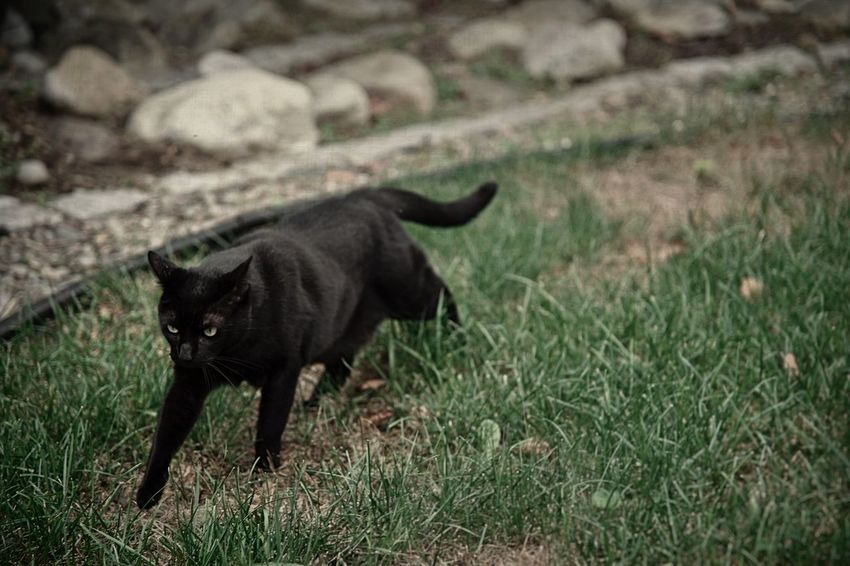 A black cat roams around his territory outside Cat Outside Cats Animal Mammal Domestic Black Color Grass Plant Vertebrate Feline Field Full Length Nature Walking Black Cat Yard Rocks Outdoors Pet Full Body Legs Animal Themes Face Green Color Territory EyeEmNewHere A New Beginning It's About The Journey
