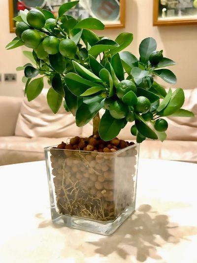 Indoors  Nature Close-up Freshness Plant Blooming Freshness EyeEmNewHere Interior Design Limetree Lemontree