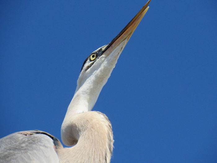 Under a Blue Heron Animal Head  Animal Themes Animals In The Wild Beak Bird Blue Blue Sky Clear Sky Low Angle View Nature No People One Animal Outdoors Wildlife Zoology