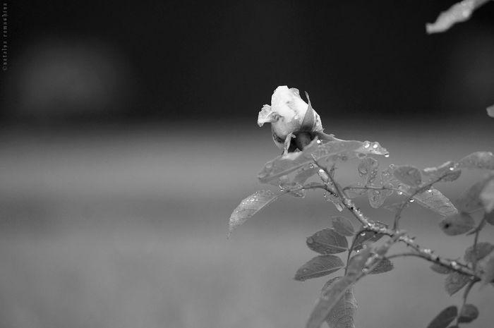 Bnw Noiretblanc Blackandwhite Noir Et Blanc Black & White Black And White Roses Blackrose Flowers Noir Learn&shoot:simplicity Perfectmatch