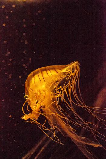 Japanese sea nettle Jellyfish, Chrysaora pacifica, can range in color from gold to red. Their dark stripes extend from the top to the bottom of the bell. Chrysaora Pacifica Gorgon Japanese Sea Nettle Nature Tentacles Danger Jellyfish Jellyfishes Marine Life Ocean Poison Sea Sea Nettle Stinging Tentacles Underwater Wildlife