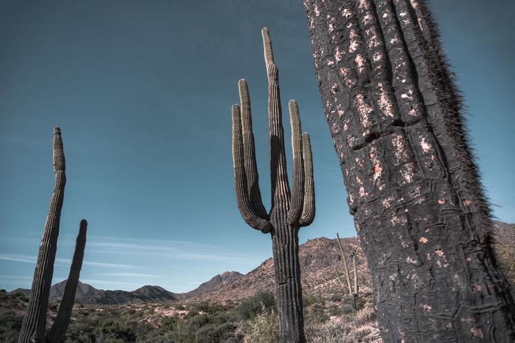 Low angle view of saguaro cactus in desert against sky