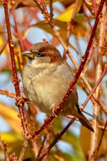 House sparrow in the sun EyeEm Best Shots - Nature EyeEmBestPics Eyemphotography House Sparrow Bird Animal Wildlife One Animal Animal Themes Animals In The Wild Animal Perching Tree Beauty In Nature Songbird  Twig Close-up Plant