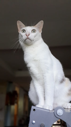 cat of spy Animal Animal Themes Cat Domestic Domestic Animals Domestic Cat Feline Focus On Foreground Indoors  Looking Mammal No People One Animal Pets Whisker White Color