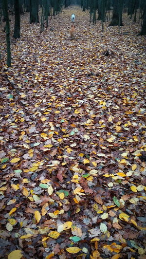 Abundance Autumn Beauty In Nature Cellphone Photography Change Cold Days Dogs Running  Dry Fall Fallen Fallen Leaf Forest Fragility Leaf Leaves Lg G2 Eyeem Photos Club Offıcıal📷 Lg G2 Photo Shot Maple Leaf Nature Relay Staffage Tranquility Tree Two Dogs Weather