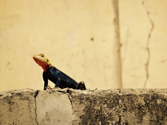 Yellow headed agama lizard Animal Themes Animal Wildlife Animals In The Wild Blue Color Close-up Day Lizard Lizard Nature No People One Animal Outdoors Reptile Rock - Object Senegal Yellow Color
