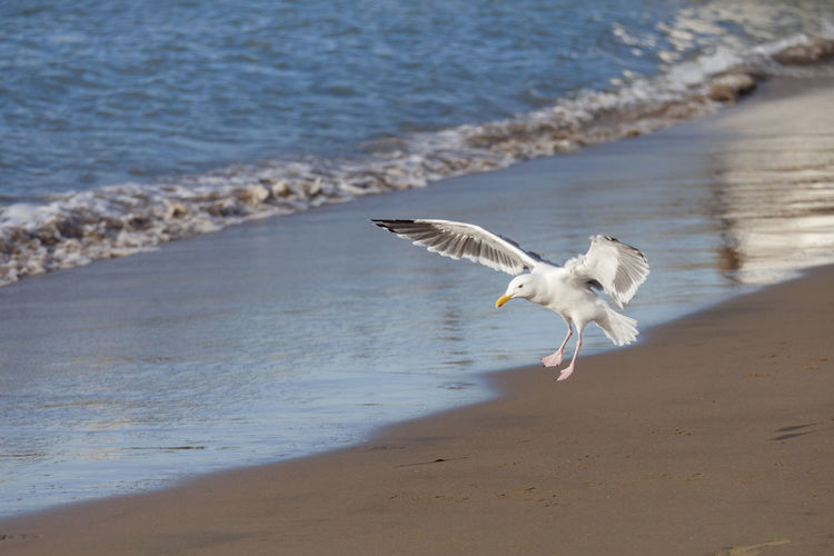 Seagull at the