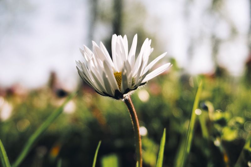 Plant Flowering Plant Flower Fragility Vulnerability  Beauty In Nature Freshness Flower Head Petal Inflorescence White Color Nature Outdoors Sepal Focus On Foreground Plant Stem Growth No People Close-up Day
