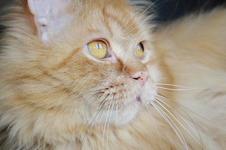 Orange Cat Cat