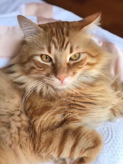 Like A Lion Ginger Cat Indoor Cat Cat Domestic Cat Feline Domestic Animal Themes Pets Animal Lying Down Portrait
