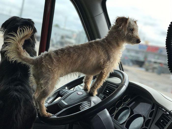 Peterbilt Pets Dog Beautiful Transportation Mexico First Eyeem Photo