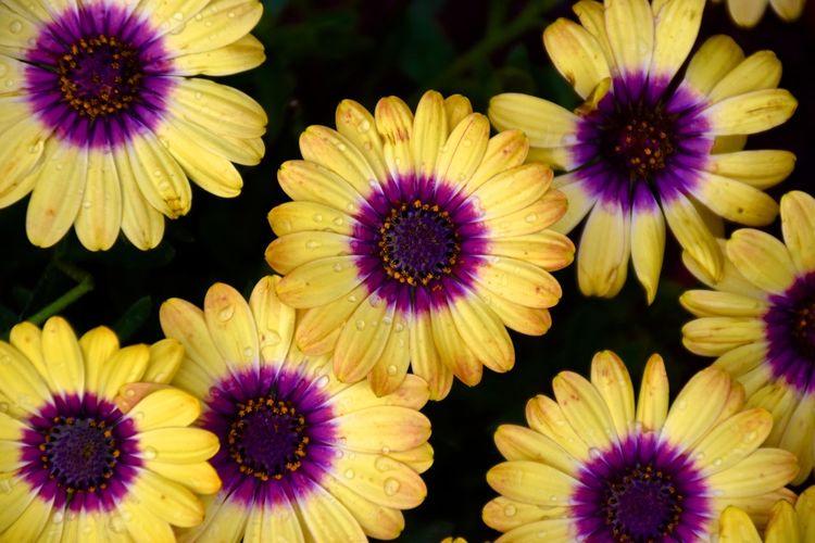 African Daisy Flowers