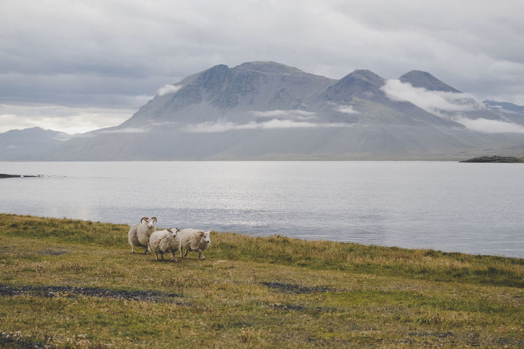 View of running sheep on mountain against sky