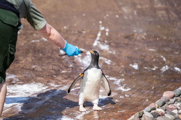 Midsection of man giving fish to penguin