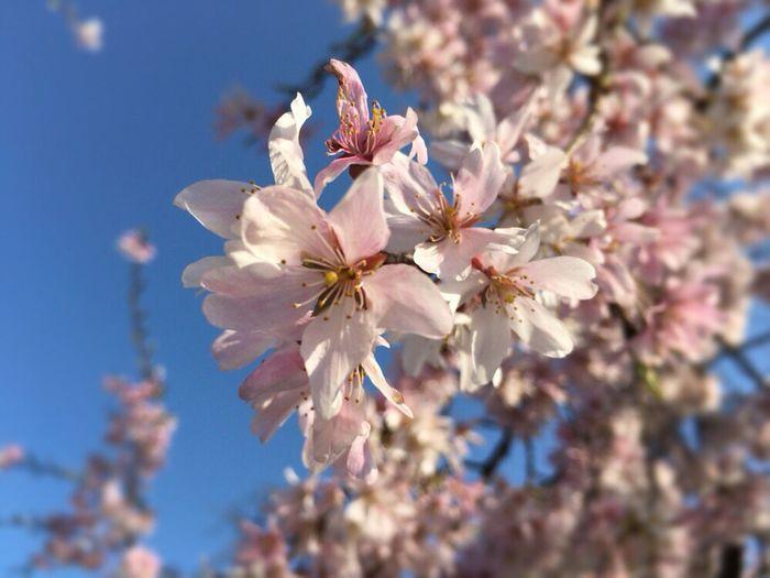 Kyoto Sakura Sky Kyoto Sky Cherry Blossoms Kyoto Sakura 2017 Kyoto Sakura Sakura Kyoto,japan