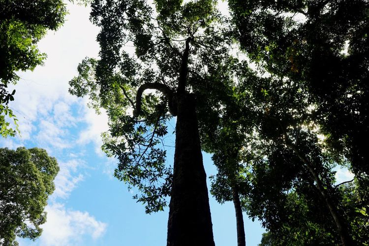 Tree Low Angle View Growth Sky Nature Tree Trunk Branch Day Beauty In Nature Green Color No People Outdoors Scenics Forest Cloud - Sky
