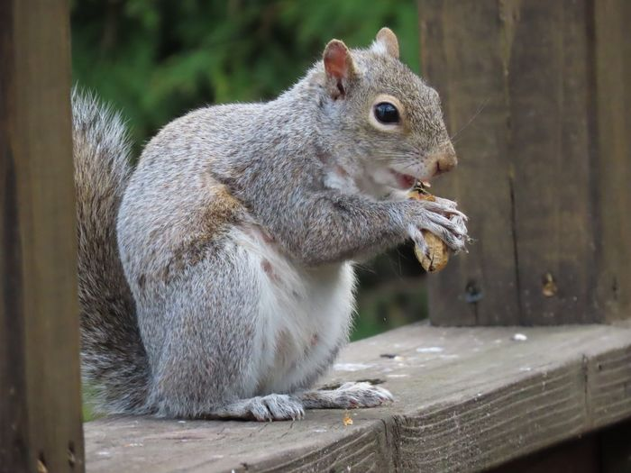 Squirrel eating a peanut closeup perched on a wooden railing animal themes beauty in nature outdoors Animal Wildlife Rodent One Animal Side View No People