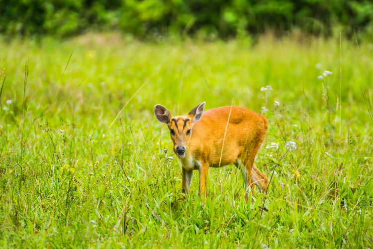 animal in wildlife Deer Cute Young Animal Safari Animals Beauty Full Length Animal Themes Grass