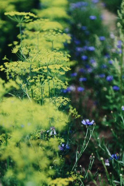 Botanic Copyspace Full Frame Meadow Herb Food Eatable Flowers Wallpaper Botanical Focus On Foreground Dill Flowers Stems Dill Plant Flower Beauty In Nature Flowering Plant Growth Fragility Vulnerability  No People Nature Focus On Foreground Petal Flower Head Close-up Green Color Tranquility Selective Focus Inflorescence