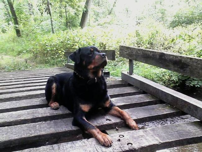 A Rottweiler enjoying a summer day on the bridge in Indiana. What a handsome dog Eyeem Collection RottweilersofeyeEm