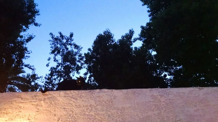 Monkey Mufastaf Darkness Black Cat Wall Dusk Pure Love Adventurine SABERTOOTH Panther