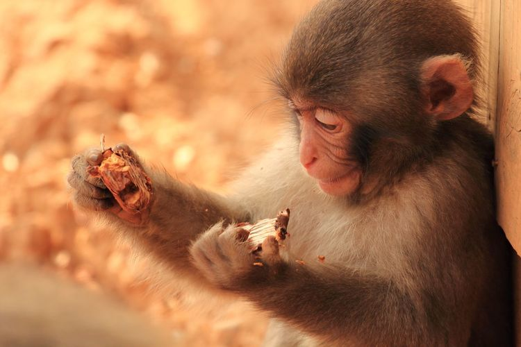 Close-up of monkey infant eating nut
