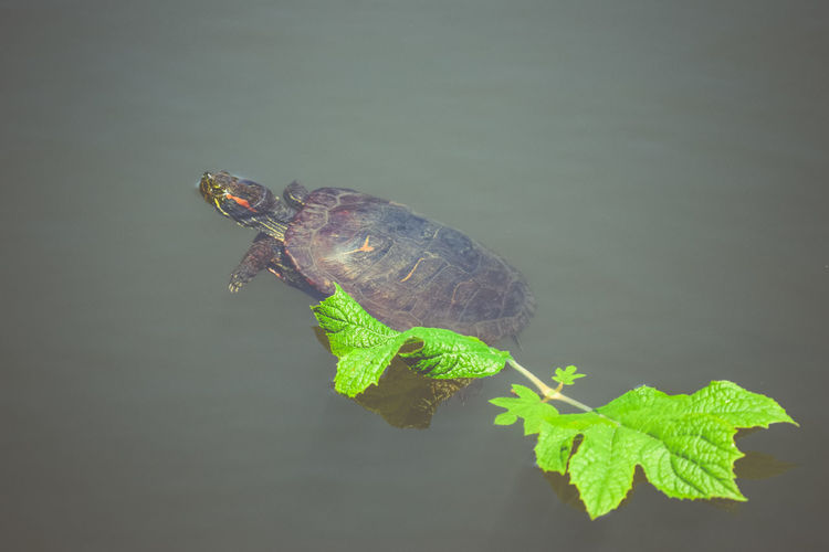 Beauty In Nature Calm Water Floating Floating On Water Leaf Leafs Relaxing Reptile Turtle Turtoise Water