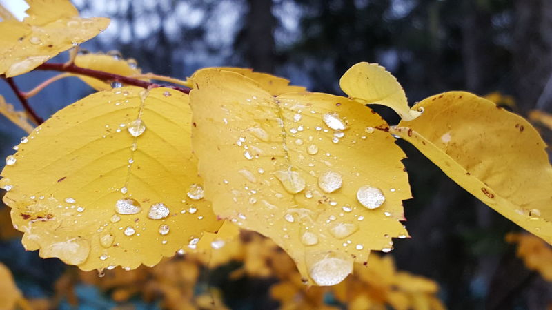 Drop Water Yellow Wet Close-up Season  Freshness Rain Fragility Dew Nature Weather Beauty In Nature Droplet Growth Water Drop Day Focus On Foreground Leaves Vibrant Color Flower Fall Color Fall Leaves Autumn