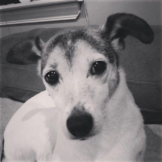 Old Lady Teegs .. our girl @phillynerd. Jackrusslesofinstagram Jacks Itischicken Icanthelpfallinginlovewithyou foreverfoster tikitiki lovemydog skrimpdog