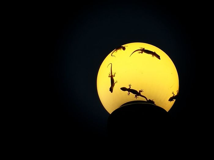 Silhouette No People Illuminated Nature Sky Gecko Gecko Lizard Night City Light Lizard