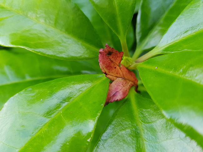 Leaf Green Color Close-up On Tour With My Handy Green Scenics Beauty In Nature On Tour Beauty Card Design Beauty In Ordinary Things Art Photography Things Around Me Personal Perspective Growth Green Color Outdoors No People Plant Nature Day Leafs Leaf Vein Red Vs Green