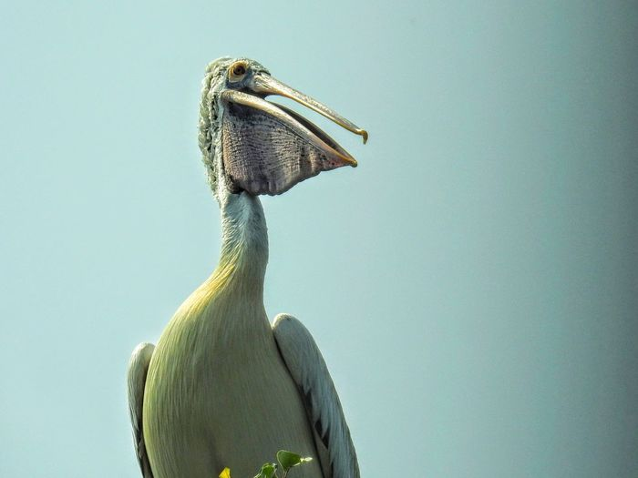 A pelican looking out over the river searching for its next meal. Pelican Pelican Birds Nature Nature Photography Bird Photography Birds Of EyeEm  Birdwatching Bird Sanctuary Mysore Close-up Sky Bird Of Prey Beak