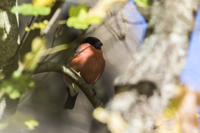 An eurasian bullfinch on a branch Pyrrhula Pyrrhula Animal Animal Themes Animal Wildlife Animals In The Wild Beauty In Nature Bird Branch Bullfinch Close-up Day Eurasian Bullfinch Finchs Nature No People One Animal Outdoors Perching Plant Selective Focus Tree Vertebrate