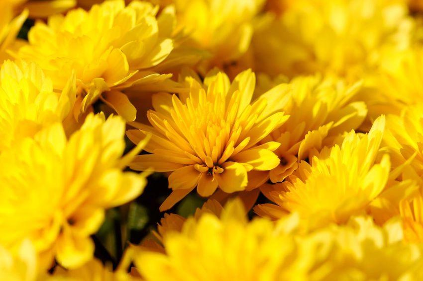 Flower Head Flower Beauty Yellow Petal Summer Botany Close-up Plant Flowering Plant Chrysanthemum Blossom