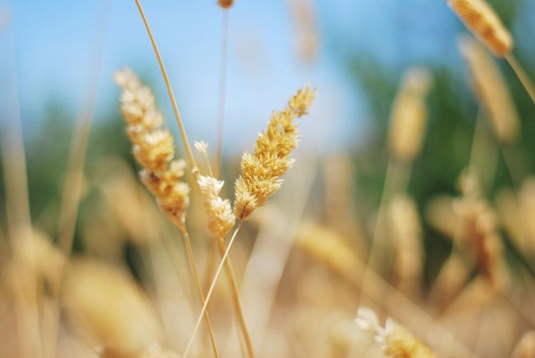Growth Nature Plant Focus On Foreground Field Close-up Beauty In Nature Cereal Plant Day Wheat No People Outdoors Tranquility Ear Of Wheat Tranquil Scene Rural Scene Flower Fragility Freshness