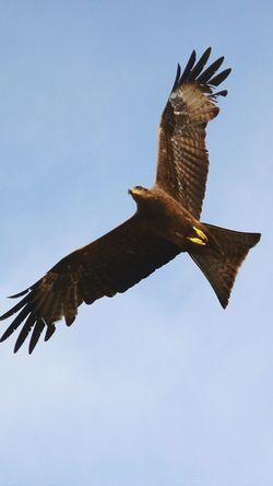 Kites. Kitebird Kiteflying Inflight Indian Birds Vscogram Vscocam Vscoindia VSCO Bird Photography Birds Of EyeEm