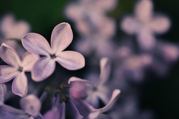 Flower Collection Flowers,Plants & Garden Eyeemphotography EyeEm Best Shots - Nature EyeEmBestPics Nature Botanical Garden Tree Syringa Lilac Flower Head Purple Freshness