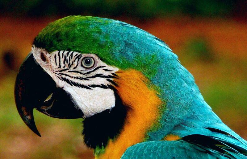 Peroquet Oiseaux