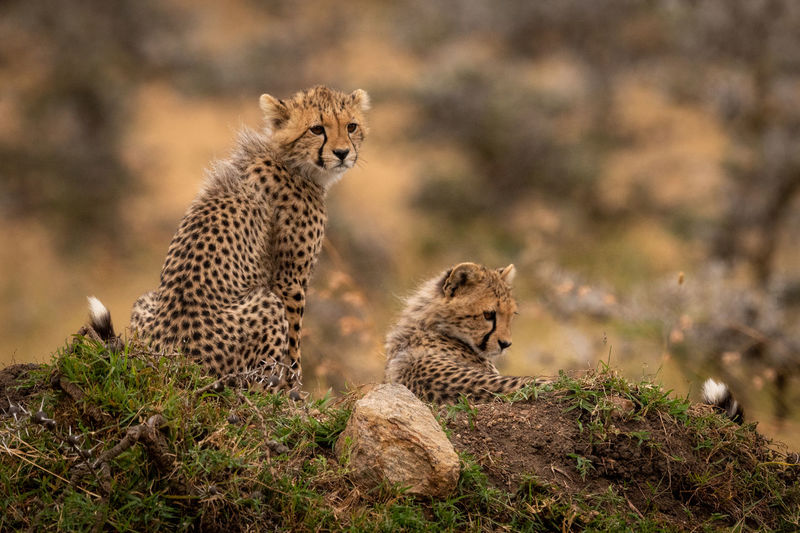 Africa Masai Mara Kicheche Savannah Savanna Wildlife Animal Predator Big Cat Cat Nature Travel Feline Mammal Animal Themes Animals In The Wild Animal Wildlife Group Of Animals Cheetah Two Animals Vertebrate Carnivora Focus On Foreground No People Field Land Sitting Animal Family
