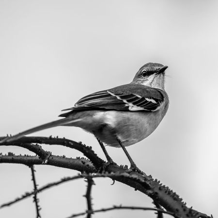 Bird Vertebrate Perching Animal Themes One Animal Animal Animals In The Wild Animal Wildlife No People Close-up Day Full Length Branch Outdoors Nature Twig Plant Copy Space Low Angle View Looking Away Mockingbird Mockingbird In A Tree