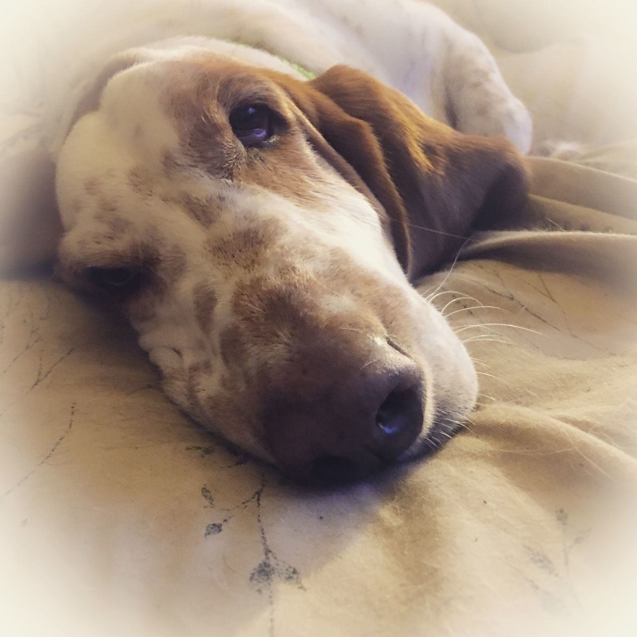 dog, one animal, pets, animal themes, mammal, domestic animals, relaxation, animal head, indoors, close-up, lying down, no people, day