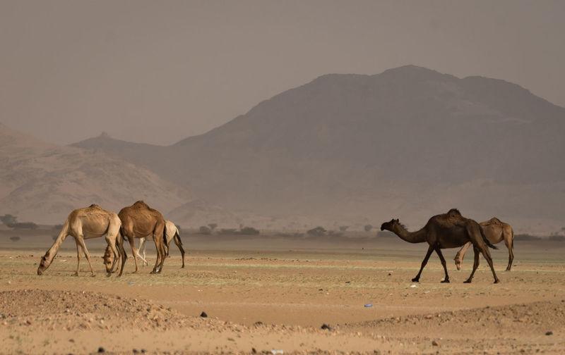 camels Camels