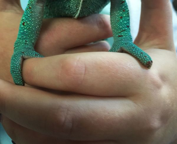Person Person Close-up Person Human Skin Focus On Foreground Green Color Full Frame Human Finger Feet Chameleon Chameleon Feet Green Reptile Photography