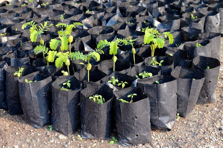 tamarind saplings of young plants in a bag black, plantation farming of tamarind (selective focus) Beauty In Nature Beginnings Botany Close-up Day Dirt Field Gardening Green Color Growth In A Row Land Leaf Nature New Life Plant Plant Part Planting Sapling Saplings Seedling Small Tamarind Tamarind Saplings Tamarind Tree