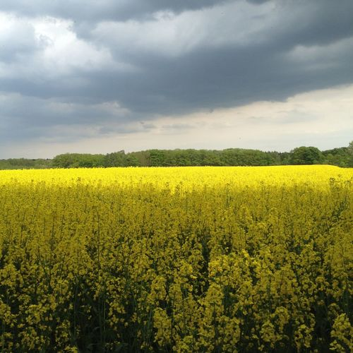 Agriculture Beauty In Nature Field Flower Freshness Growth Rural Scene Yellow