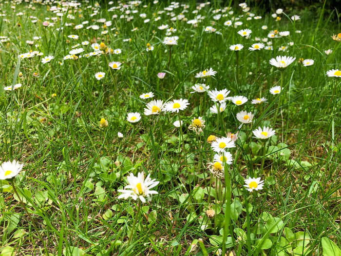 White daisy flowers on field