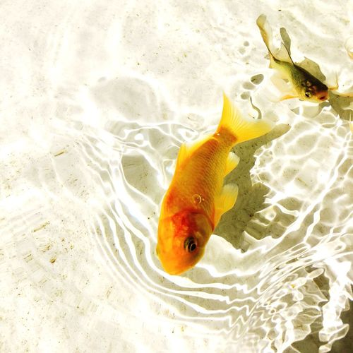 High Angle View Of Two Fish Swimming In Sea