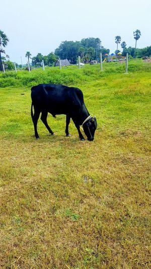 black bull 💓