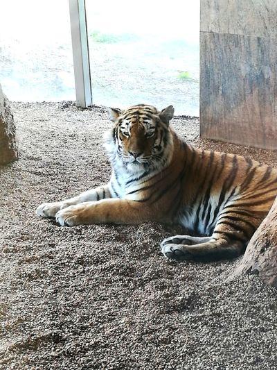 EyeEmNewHere Tigers Bigcats Animal Wildlife Sunlight Nature