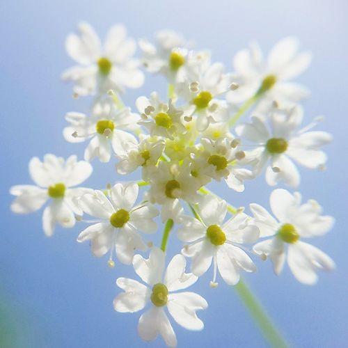 • شبیه گلهای پیراهنت . . گل_زیره ماکروگرافی Rsa_macro